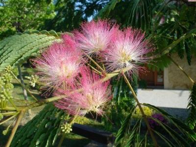 La flore for Acacia de constantinople prix
